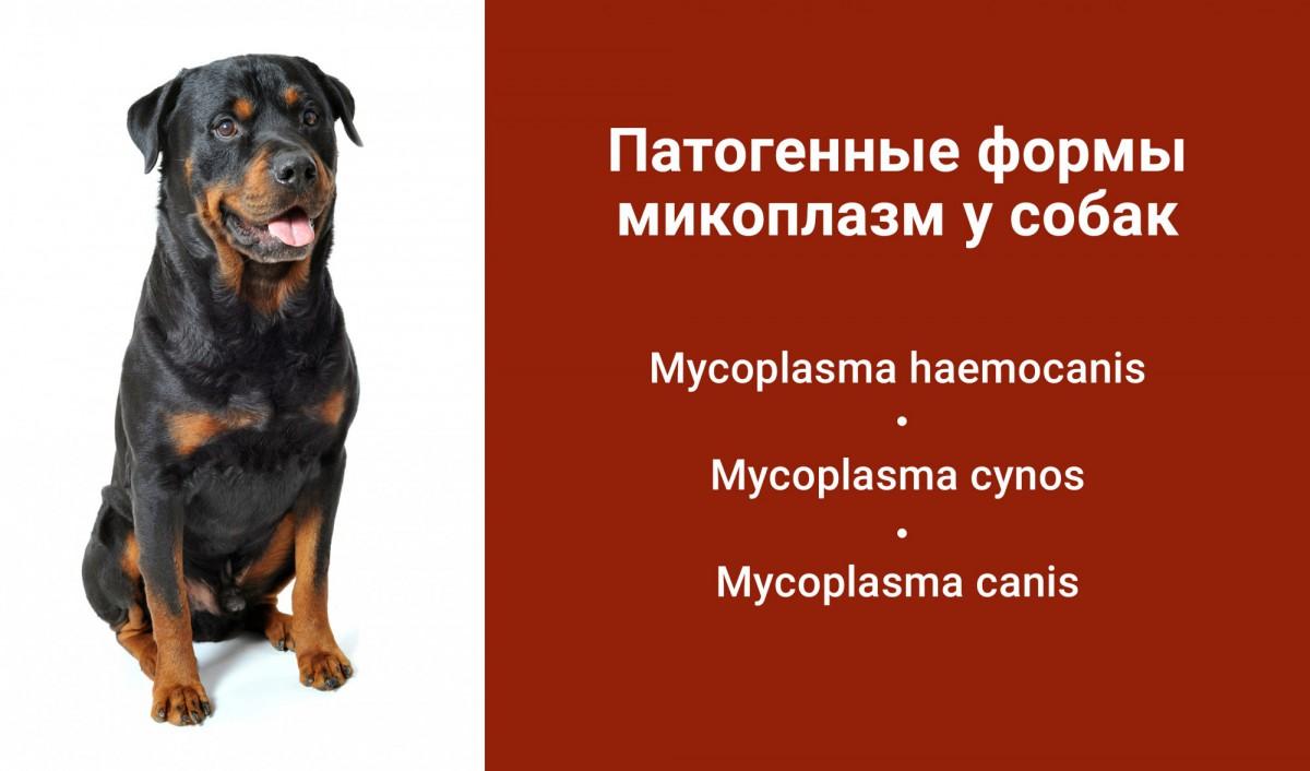 микоплазмоз собак